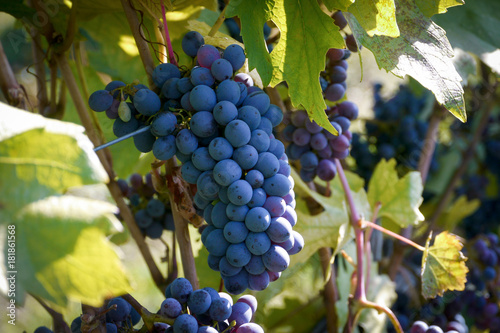 Foto op Canvas Wijngaard ripe red grapes hanging on the vine