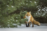 Fox in Snow Covered Pine - 181861741