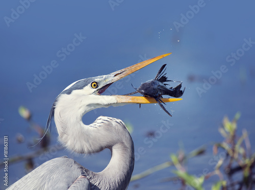 Great Blue Heron with a fish Poster