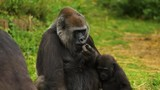 Close Up Portrait of Gorilla Mother & Child - 181872561