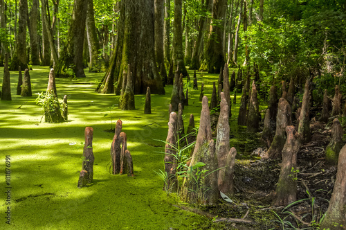 Papiers peints Bosquet de bouleaux Cypress swamp at Mississippi with small crocodile getting tan and tree with roots looking for oxygen