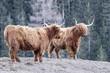 Quadro Highlander scotland hairy cow frozen nose