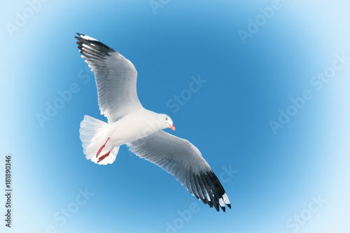 Fotobehang a white free seagull flying in the clear sky