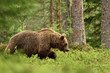 Bear at summer in forest