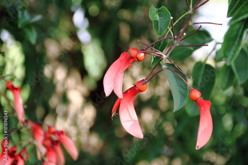 Fotobehang Palermo Erythrina crista galli native to South America national flower of Argentina