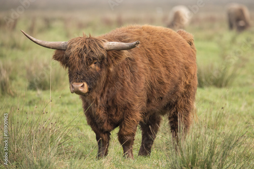 Plexiglas Bison Scottisch Highlander