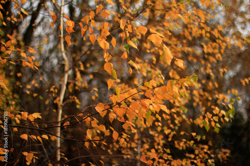 Plexiglas Berkenbos Yellow birch leaves in sunlight