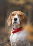 Portrait of Beagle dog in the forest - 181913361