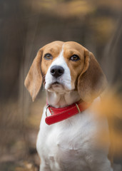 Portrait of Beagle dog in the forest