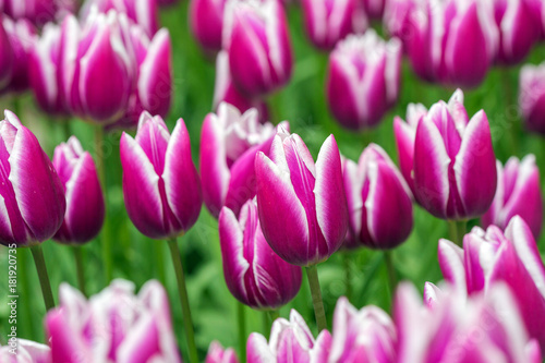 Foto op Plexiglas Purper Pink tulip in the field