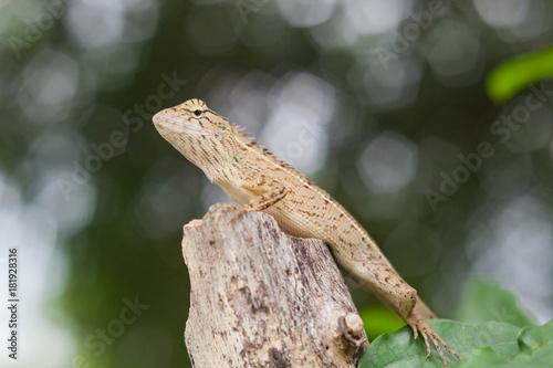 Aluminium Kameleon Chameleon Asia.