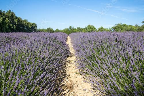 Tuinposter Lavendel Big lavender field