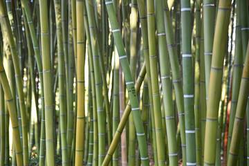 Bambous verts en été au ajrdin