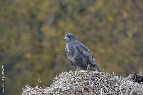 buzzard, Buteo buteo, perched, sat on a pile of manure in a field with autumn coloured background Poster