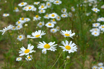 beautiful summer fresh natural landscape: a field of blooming daisy flowers