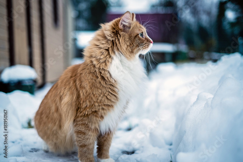Tuinposter Eekhoorn red cat sitting on the snow