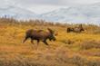 Bull and Cow Alaska Moose