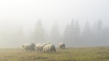 Herd of sheeps in foggy meadows. - 181952388