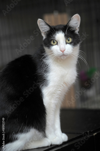 Plexiglas Panter Beautiful black and white cat portrait