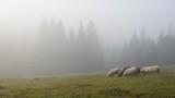 Herd of sheeps in foggy meadows. - 181953924