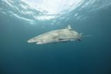 Lemon Shark (Florida) - 181961562