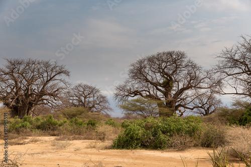 In de dag Baobab Baobabbaum (Adansonia digitata) - Afrikanischer Affenbrotbaum - Tansania