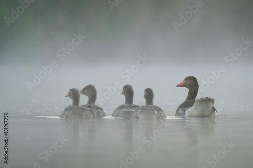 Aluminium Zwaan Graugansfamilie auf dem Wasser