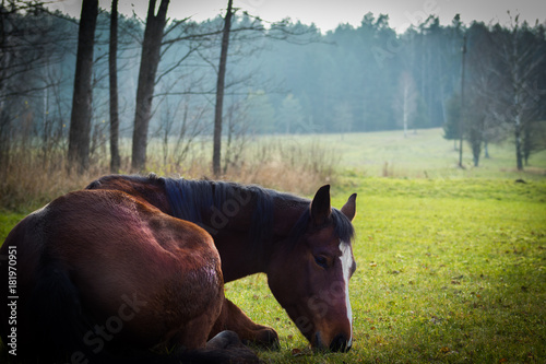 Foto op Canvas Chocoladebruin Brown horse closeup against green grass and dark forest