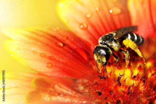 Aluminium Bee The bee on a beautiful red-yellow flower in droplets of water. Artistic natural macro image.