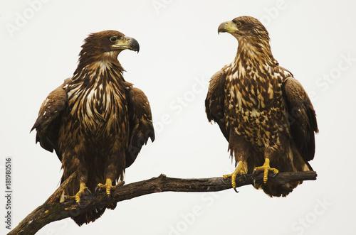 Plexiglas Eagle White-tailed Eagle, Haliaeetus albicilla, Hungary, Europe