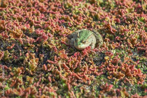 Fotobehang Kikker Frog in algal scum, blurred aquatic plant