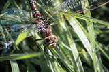 Common Hawker dragonfly on wet grass - 181988358