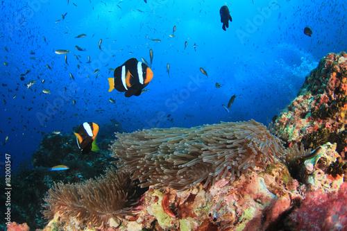 Fotobehang Koraalriffen Clownfish anemonefish fish on coral reef