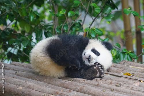 young panda sleeping outside