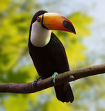 Common Toucan  at wildness area - 182008531