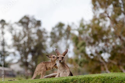 Fotobehang Kangoeroe A young kangaroo and his mother share a tender moment together.