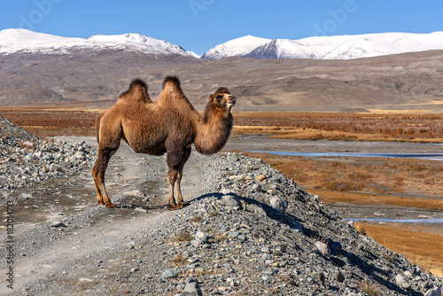 Plexiglas Kameel camel road mountains graze