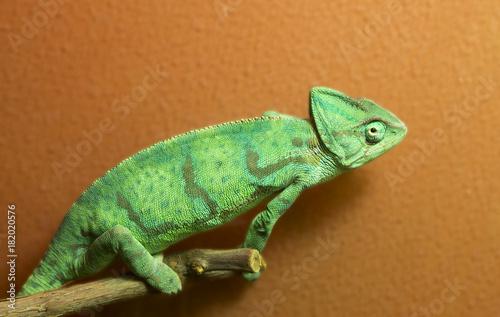 Aluminium Kameleon Хамелеон, самка
