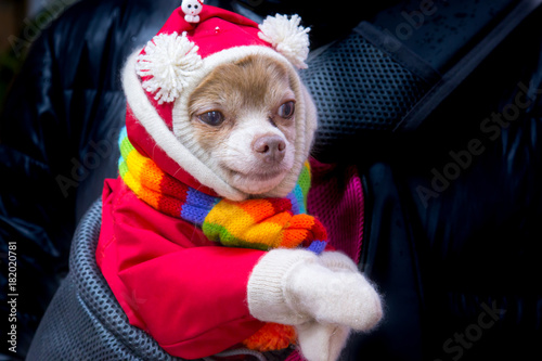 Small Chihuahua breed dog in a red suit with white pompons and a multi-colored s Plakát