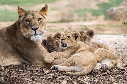 Fotobehang Lion Lion cubs