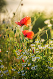 Red poppy seed in the field at sunrise, Europe