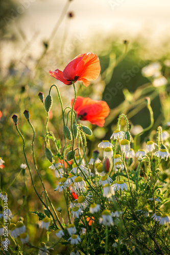 Red poppy seed in the field at sunrise, Europe Poster