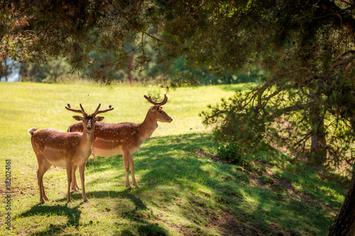 Fotobehang Hert Wonderful deers in forest at sunny day, Poland, Europe