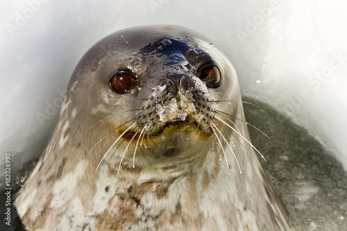 Weddell seal(leptonychotes weddellii)stuck his head out from the hole in the Dav Poster