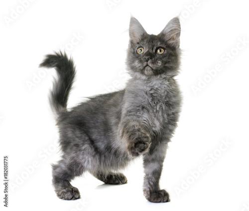 Fotobehang Kat maine coon kitten