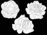 isolated three white and black rose blooms sketches