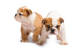 Cute puppy of English Bulldog isolated on white background - 182036314
