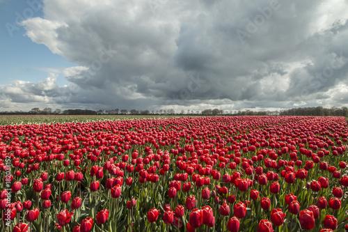 Plexiglas Klaprozen Tulips Holland