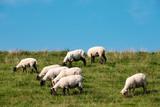 Schafe grasen auf dem Deich - 182042985