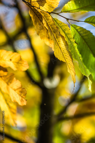 colorful autumn fall season chestnut leaves, creative background pattern